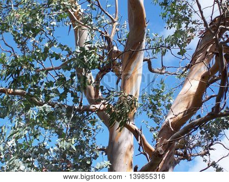The multicolored trunk and branches of an Australian eucalyptus tree, along with its iconic leaves, stand in contrast to a blue sky.