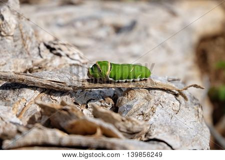 Green caterpillar on wooden with nature background.