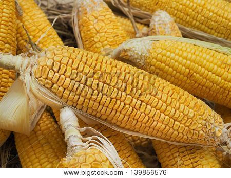 Fresh organic corn on cobs, Selective focus and close up