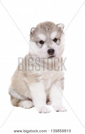 Adorable puppy breed Husky isolated on white background