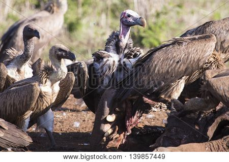 Vultures sitting on ground after eating ready for fly