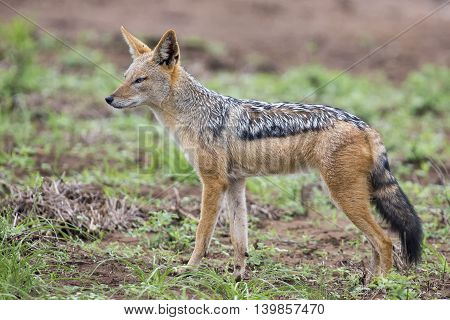 Black backed jackal walking on short green grass looking for food