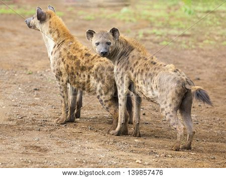 Two hyena looking carefully for possible danger approaching to protect their den