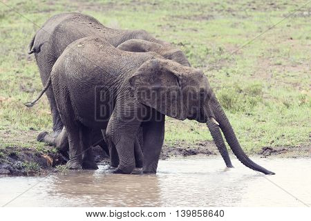 Elephant walking in water to have a drink and cool down on a hot day