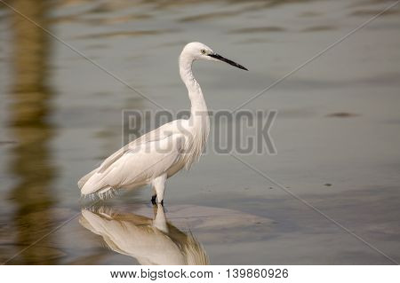 Little Egret or Egretta Garzetta in a waterlogged area in Bahrain