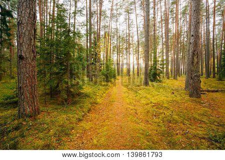Winding Path Lane Walkway Way Through Beautiful Coniferous Autumn Forest. Nobody. Autumn Nature Landscape In  The Berezinsky Biosphere Reserve.
