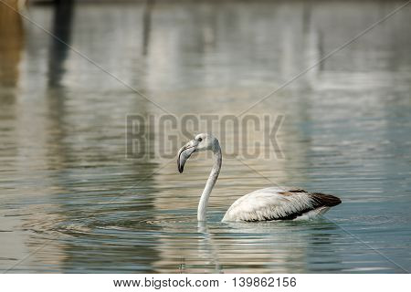Greater Famingo (Juvenile) in a lagoon in Bahrain