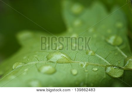 Close up raindrop on green grape leaf