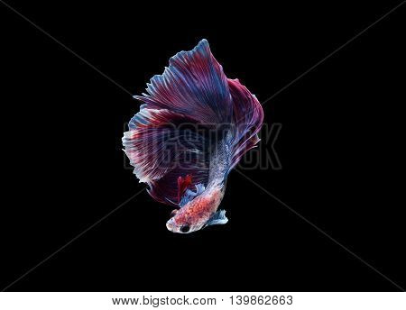 Halfmoon Betta splendens or siamese fighting fish isolated on black background Plakat Thailand