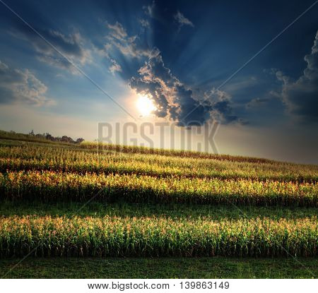 green field of corn growing up at sunset