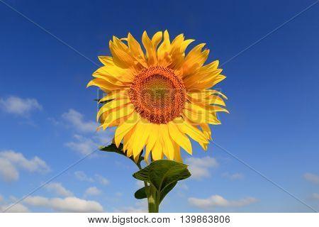 nice sunflower on blue sky background
