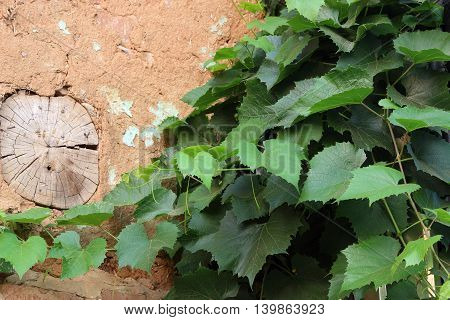 beam in the wall of clay. green grapes