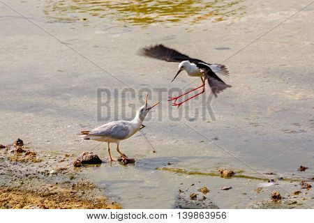 Territorial Fight between a Black-winged Stilt and a Seagull in a water park in Bahrain - Motion blurred image