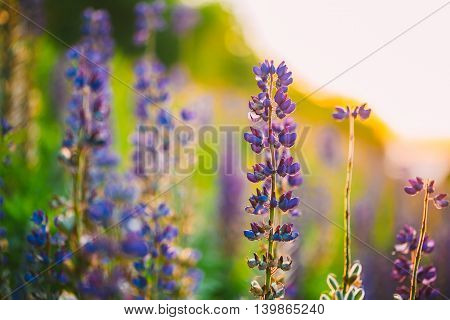 The Overblown Wild Flowers Lupine In Summer Field Meadow At Sunset Sunrise. Close Up. Copyspace. Lupinus, Lupin Or Lupine, Is A Genus Of Flowering Plants In The Legume Family, Fabaceae.