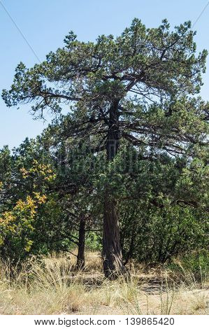 Juniper forest in the Crimea in the summer