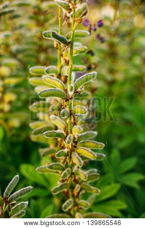 Close View Of Deflorate Wild Flowers Lupine With Seed Pods In Summer Meadow Field In Spring Summer  Sunset Sunrise. Lupinus, Lupin, Lupine, Is  Genus Of Flowering Plants In The Legume Family, Fabaceae