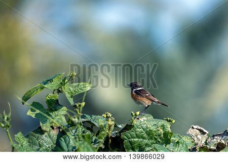 Siberian Stonechat (Male) perched on a plant, Bahrain