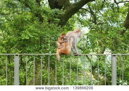 Monkey And Her Son Are Sitting On The Rack