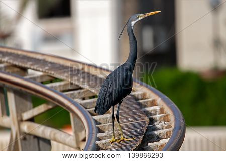 Western Reef Egret or Egretta Gularis on top of a roller coaster rail in a park in Bahrain