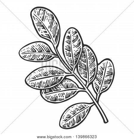 Acacia leaf. Vector vintage engraved illustration. Isolated on white background