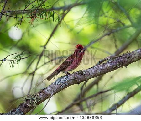 The Purple Finch is the bird that has been famously described as a sparrow dipped in raspberry juice. This was taken deep in a boreal forest in North Quebec Canada.