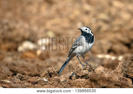 White Wagtail in a farm in Bahrain