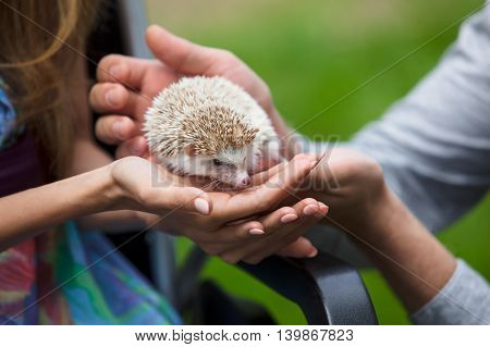 Young hedgehog in hands men and women