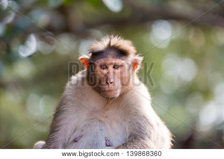 The bonnet macaque is a macaque endemic to southern India. Its distribution is limited by the Indian Ocean on three sides. These primates live in close family groups that have a hierarchy rule.