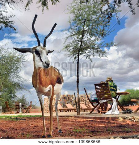 KALAHARI NAMIBIA - JAN 23 2016: Antelope sprigbok with horns protected on site of Bagatelle Kalahari Game Ranch
