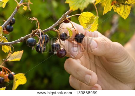 hand picking ripe berries of black currant