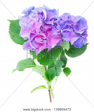 twig of blue and violet fresh hortensia flowers isolated on white background
