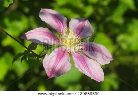 pink clematis flower with purple stripes and green leaves