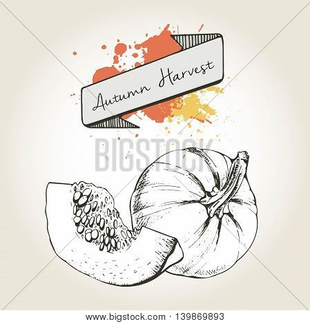 Vector hand drawn illustration of pumpkin slices. Engraved autumn vegetable isolated on vintage background. Harvest for cooking.
