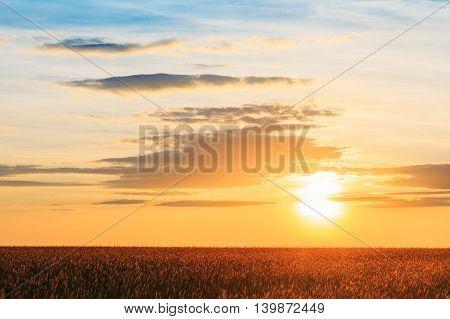 Landscape Of The Eared Ripen Wheat Field Under Scenic Summer Dramatic Sky In Sunset Dawn Sunrise. Skyline.
