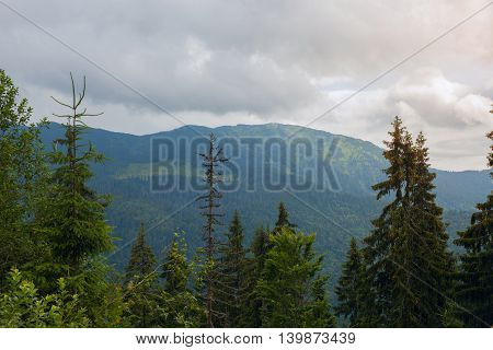 Marmarosy ridge in the Carpathian mountains Ukraine. Cloudy morning in the mountain spruce forest.