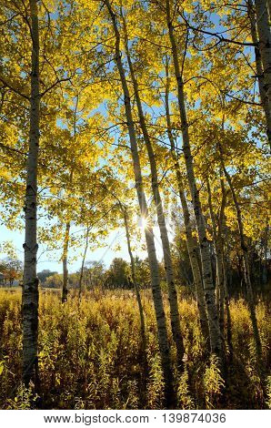 The Sun Shining Through Aspen Trees on a Fall Morning