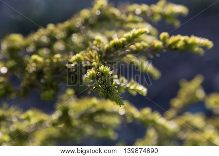 needles on branch spruce with bokeh background macro selective focus Picea abies