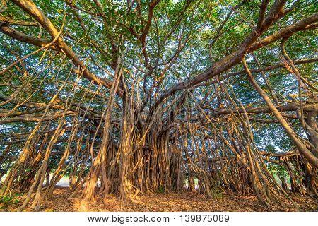 Tree of Life, Amazing Banyan Tree.