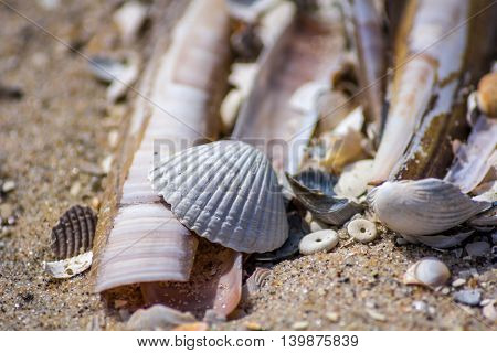 razor clam and scallop shells on the beach