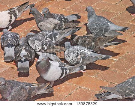 Pigeons Feeding On Bread CRUMBS