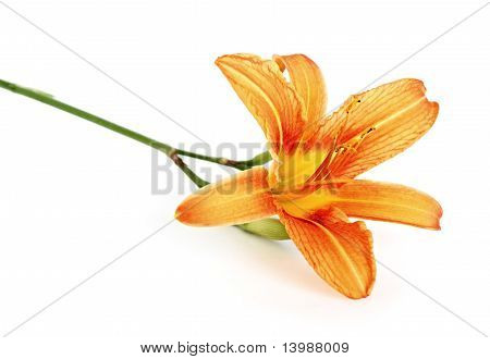 orange daylily isolated