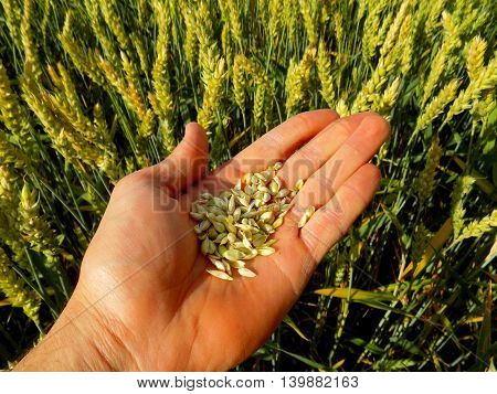 Wheat grain on human palm after harvest