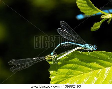 Copulating dragonflies on deciduous tree leaf near pond