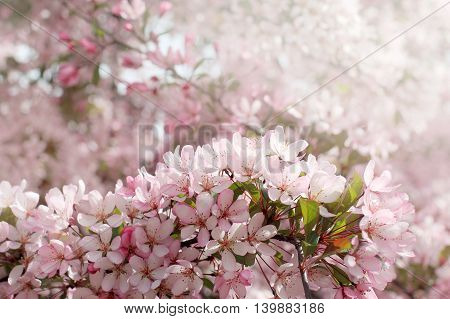 Spring background with pink flowers blooming fruit trees / cherry flowers extraordinary beauty