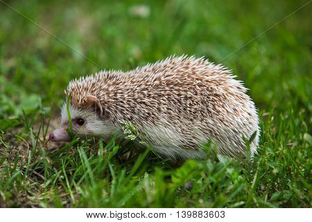 prickly hedgehog in the green grass. close-up