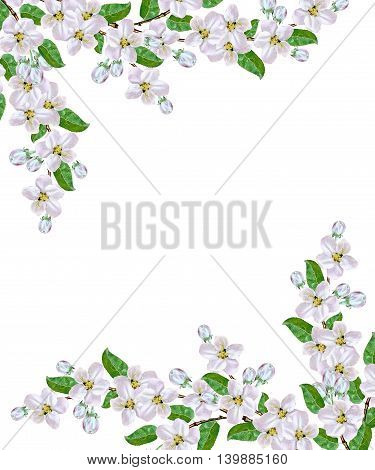 Flowering branch of apple isolated on a white background. Spring Flower.