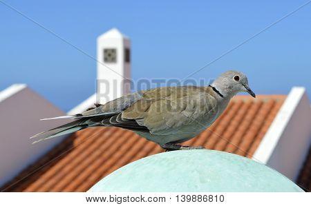 Eurasian collared dove Latin name Streptopelia decaocto