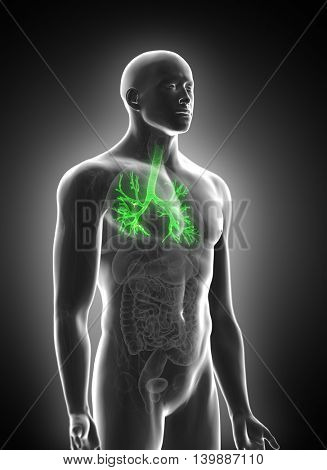3d rendered medically accurate illustration of the bronchi