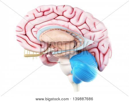 3d rendered medically accurate illustration of the cerebellum