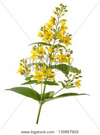 Garden Yellow Loosestrife isolated on  white background